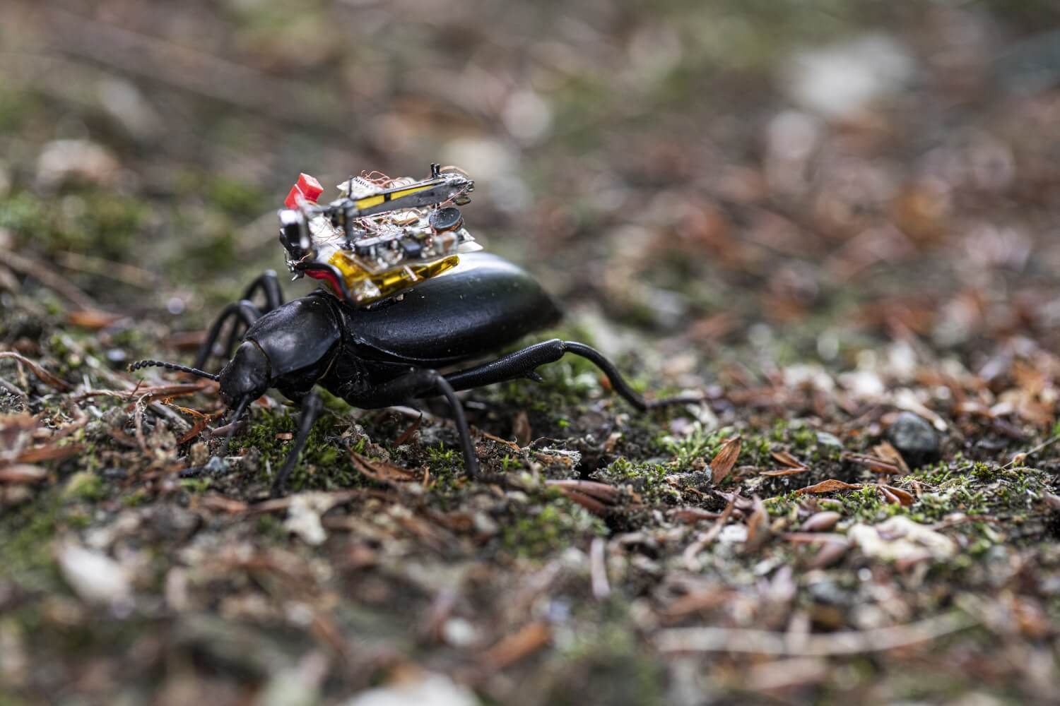Researchers design and mount tiny livestreaming camera on the back of beetles