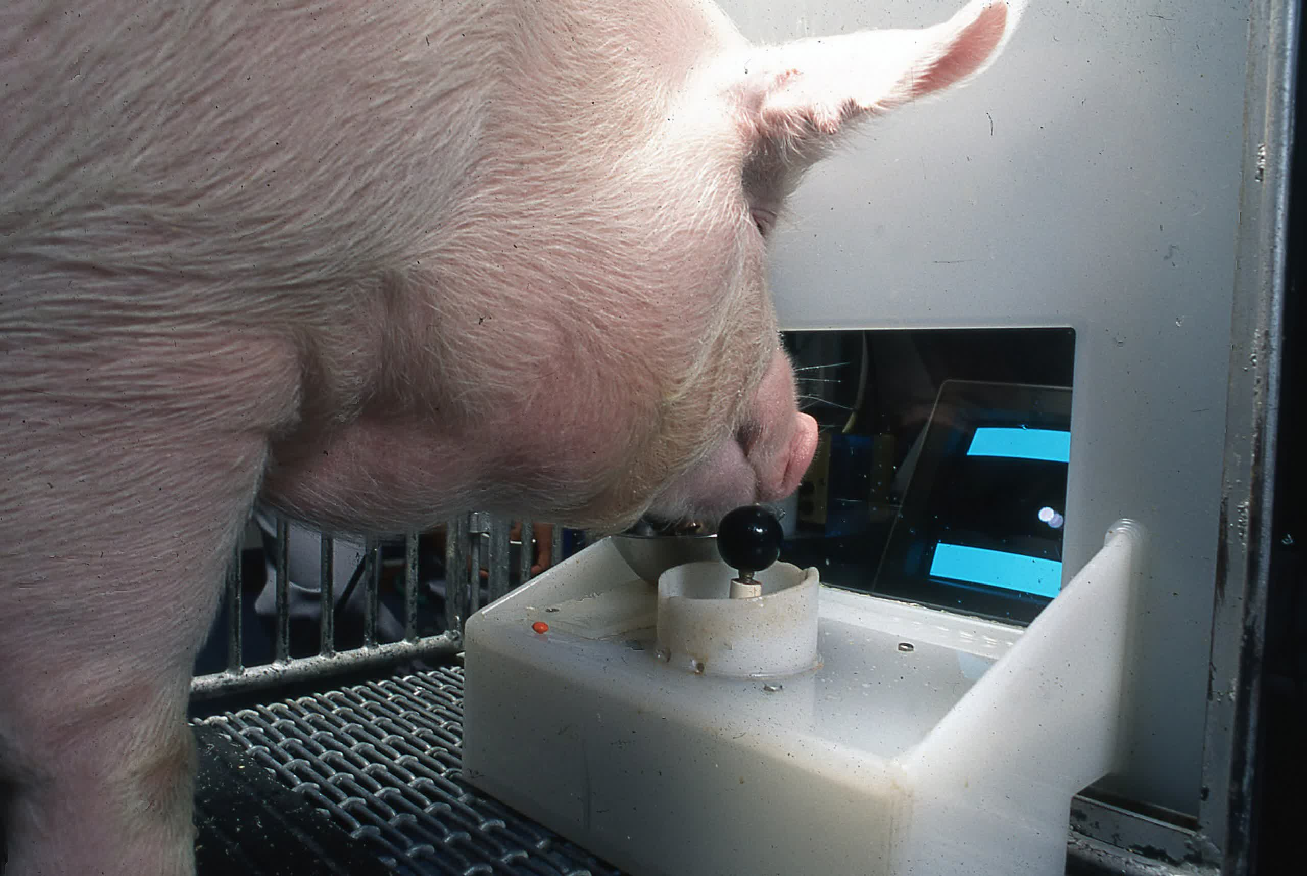 Study shows pigs can be trained to play video games